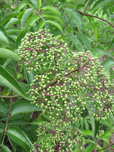 Elderberry at magic hedge