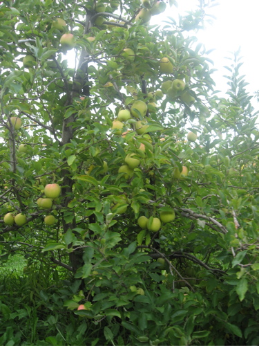 County line apples