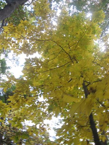 County line yellow tree