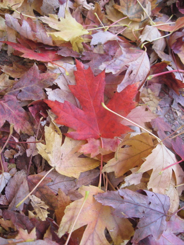 Red leaf, yellow leaf