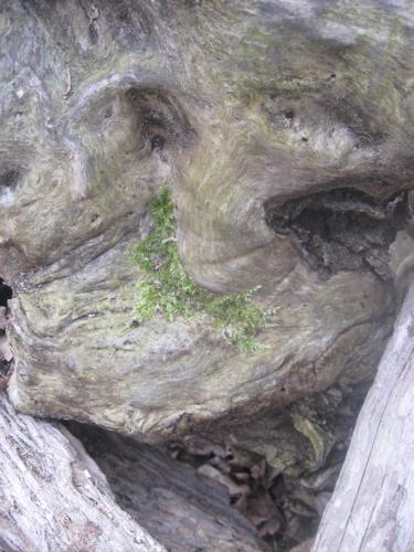 Moss on stroy tree