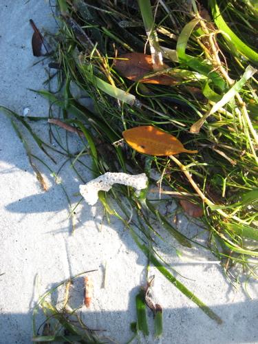 Florida seaweed