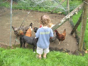 Ben feeds chickens