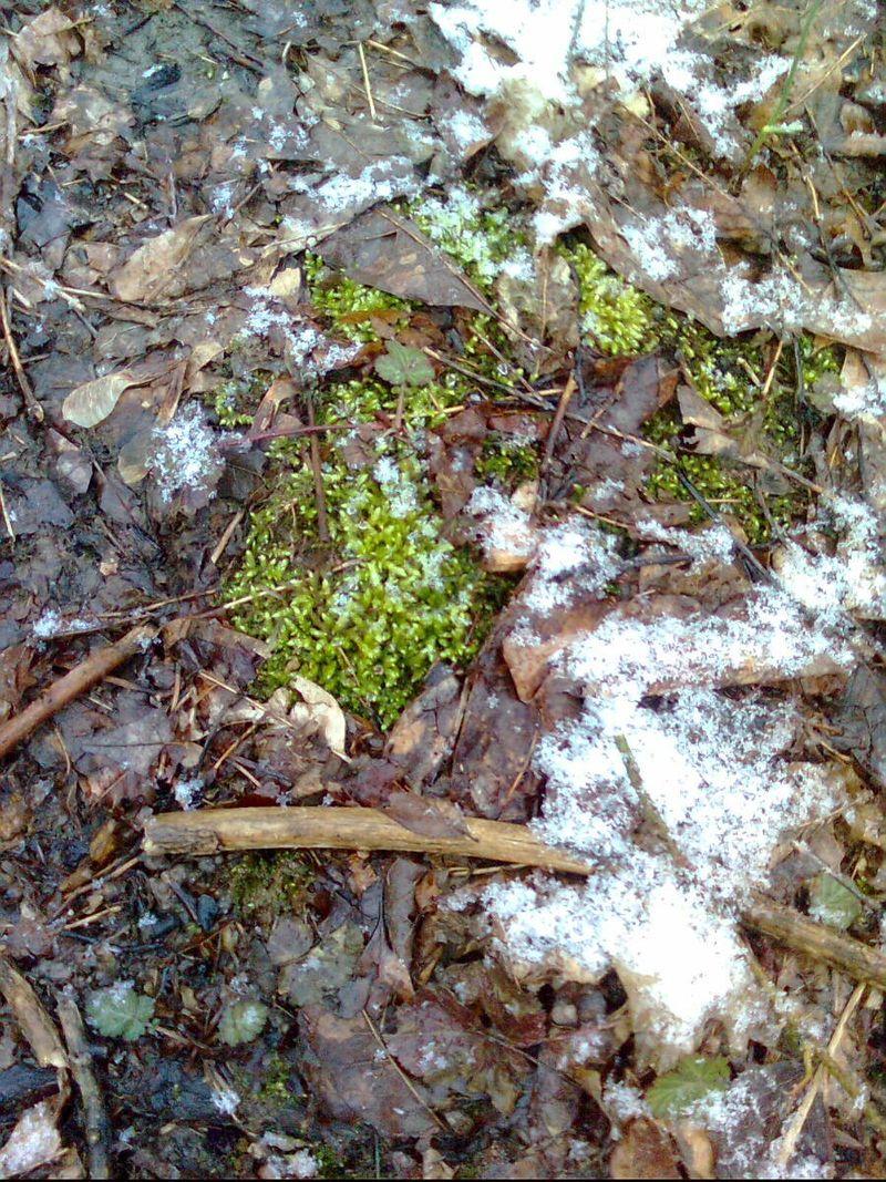 Michigan moss