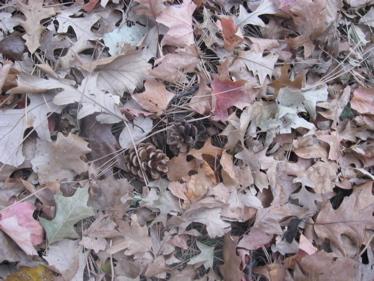Pine cones hiding in leaves
