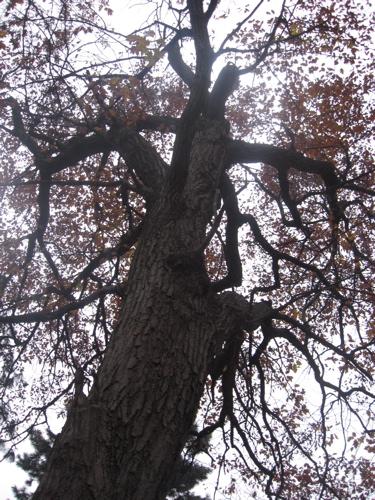 Ruddy oak