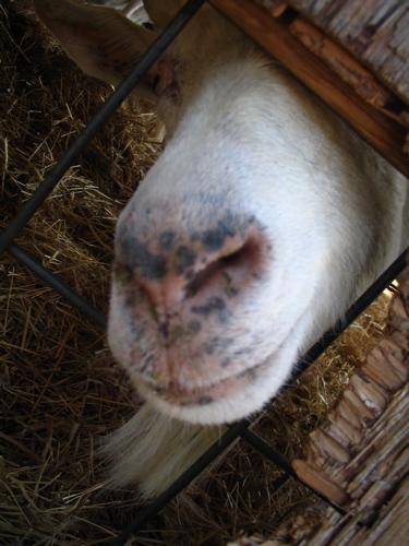 Goat_nose