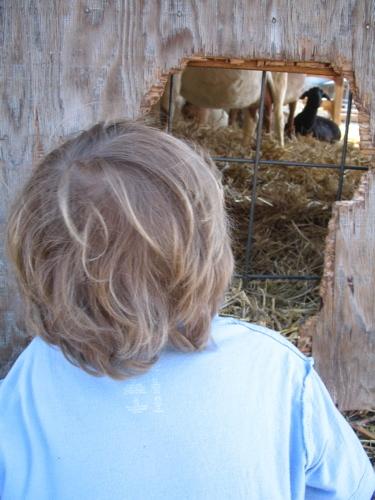 Sam_peeking_at_goats