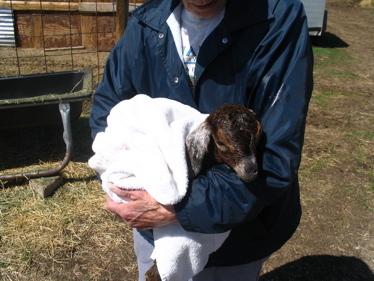 Wet_baby_goat