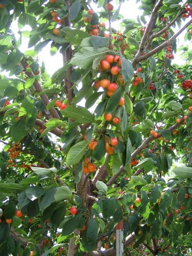 Rainier_cherries_on_tree