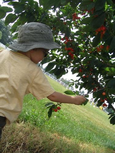 Sam_picking_cherries
