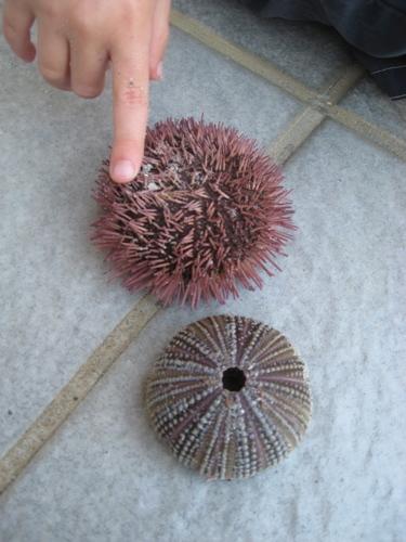Longboat_urchins