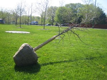 Arbor_day_oak_balled