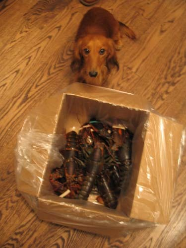 Dude_and_a_box_of_lobsters