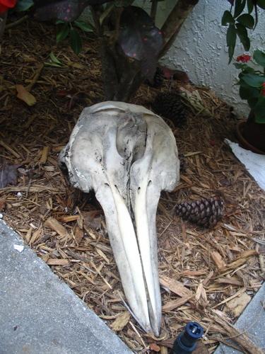Florida_dolphin_skull