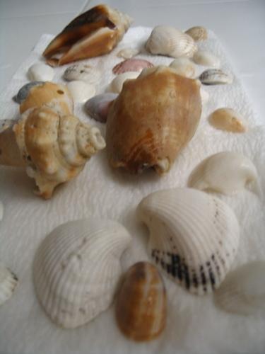 Florida_shells