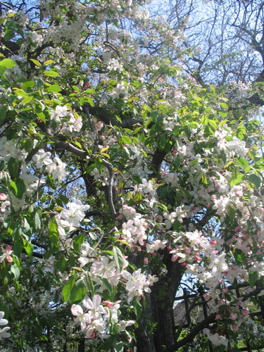 Osaka_flowering_tree